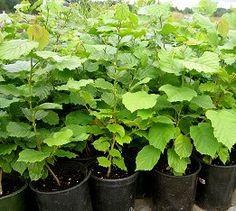 Duckett Truffieres: Growing Truffle Trees on Vancouver Island...truffle inoculated hazelnut tree