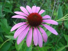 "Echinacea purpurea, Purple Coneflower, Austin Native Landscaping: ""Echinacea is one of our personal favorites! The flower is quite magical and pronounced; Butterflies can't get enough of it! A very useful plant that will thrive both in full sun and part shade, it looks especially good when planted in a mass. The sea of purple blooms will intoxicate your eyes. Hardy, pest and disease resistant and drought tolerant."