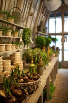 What a beautiful sight in the potting shed - bulbs