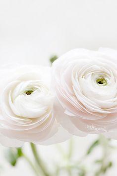 fleur, idea, white ranunculus, bloom flower, beauti, soft white flowers, pretti, garden, floral