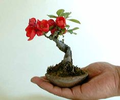 plant, bonsai trees, tattoo idea, flower quinc, beauti bonsai, mini thing, mame bonsai, garden, blairbear miniatur