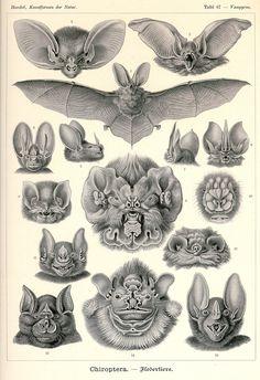 Ernst Haekel, bats <3