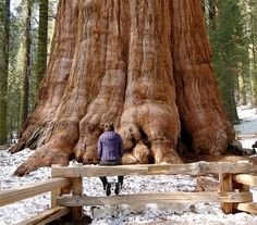 General Sherman, Largest Tree in the World! This California Giant Sequoia is officially the largest living thing in the world: between 23 and 27 centuries old! Its trunk alone comprises almost 52,000 cubic feet of wood. It proudly stands at 275 feet tall, is more than 36 feet in diameter at its base and has a crown that spreads just over 106 feet! It was named in honour of the American Civil War general, William Sherman, by the naturalist James Wolverton who served under Sherman's command.
