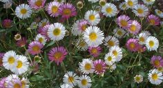 Santa Barbara daisy, either all-white or a mix of pink, for a color break in my purple border
