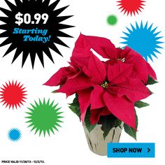 Shop Black Friday prices now at Lowe's! Get this poinsettia for $0.99.