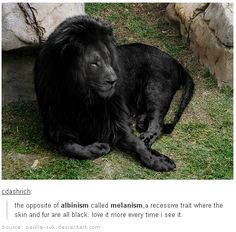 The complete opposite of Albinism is Melanism, which is the occurrence of an increased amount of dark pigmentation, resulting from the presence of to much melanin. This results in black or dark coloured animals.