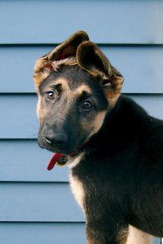 shepard pup