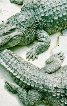 Gators #photography #nature #fauna #alligators