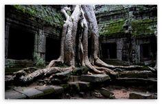 Banyan tree slowly taking over Angkor Wat Temple, Cambodia
