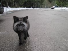 Black fox!