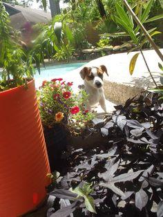 Miss Emmy, my new JR puppy...