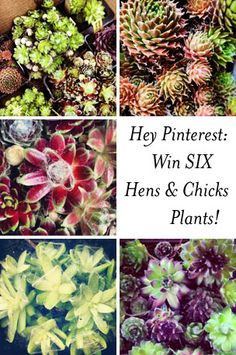 Win Your Very Own Collection of Sempervivums from Arrowhead Alpines