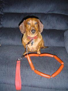 dachshund hotdog leash!