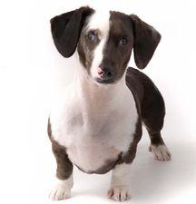 black and tan smooth double dapple dachshund