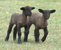 Baby Lambs, so cute!