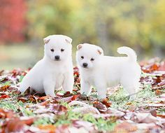Shiba inu! <3 The most adorable puppies on the planet.