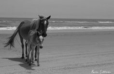 Horses in Corolla - Outer Banks, NC