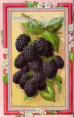Lovett's Best Blackberry - Spring 1892.