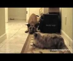 Dog Shall Not Pass - ( Says The Cat! ) : Video Clips From The Coolest One.  Very funny