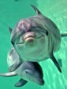 A few of my favorite facts about bottle-nosed dolphins:  --They have 100 teeth;   --Some can hold their breath for 30 minutes;   --May eat up to 30 lbs of fish a day;   --Babies can stay w/their mother for 2 to 3 years, and they can live to be 50 years old!