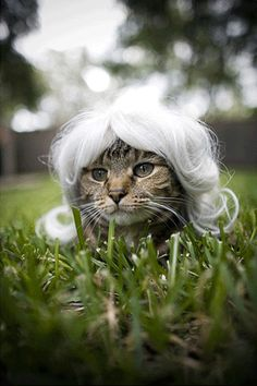 Another cat wearing a wig.