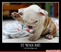 bulldog puppies, english bulldogs, dog funnies, dog flipping, funny puppies