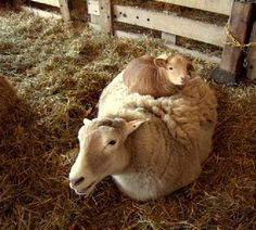 Cow on a sheep :)