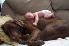 Love those chocolate labs!