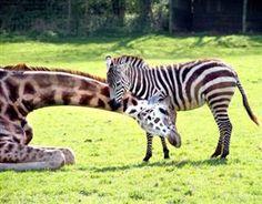 Gerald the giraffe has become close friends with male zebra...
