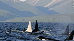 White Orca by cnn: An all white adult male  spotted swimming with his pod off of the coast of Russia. #Orca #White_Killer_Whale