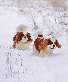 Cavaliers fun in the snow! cavali fun, king charl, cavali king