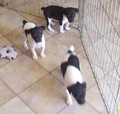 UKCI Rat Terrier Puppies ( 9 weeks old) beauti rat, terrier puppi, ukci rat, rat terriers
