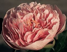 Klehm's Song Sparrow Farm and Nursery--PEONY--'Etched Salmon'