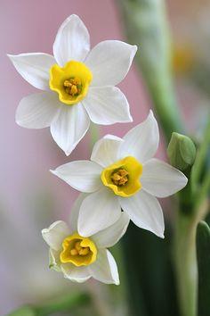 Daffodils #flower #flowers