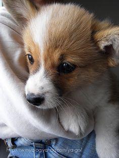 Beautiful corgi puppy 1 of 4