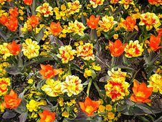 happy orange and yellow tulips