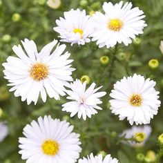 Asters are a staple in a gorgeous fall garden! Learn more about our fave perennials here: http://www.bhg.com/gardening/flowers/perennials/top-perennials-for-your-garden/?socsrc=bhgpin102114asters&page=6