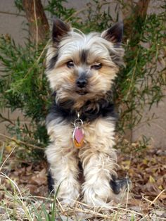 Yorkie Dog In Yard 2--Royalty free stock photos. All pictures are free for commercial and personal use. http://www.publicdomainpictures.net