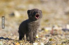 Arctic Fox Pup Calling