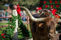 Fort Worth's Stockyard may host the only live longhorn Christmas parade in the state.  Holiday glow: Celebrations around Texas - San Antonio Express-News