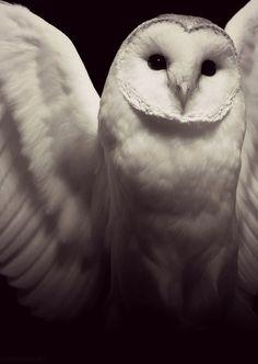 #snow owl