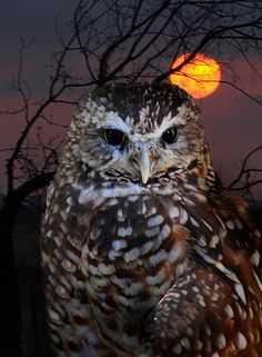 Sunset Owl Pinned by www.myowlbarn.com