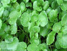Horta - como plantar Agrião (Nasturtium officinale) #alcanceosucesso