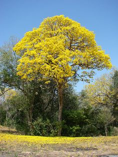 The Araguaney is the national tree of Venezuela    El Araguaney es el árbol nacional de Venezuela.