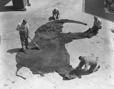 Museum staff cleaning elephant skin in the American Museum of Natural History, 1933
