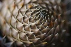 Orostachys spinosa, via Flickr.