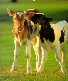 MOO COWS CALVES