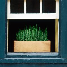 Rosemary in windowbox