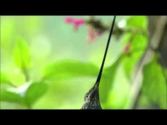 ▶ Full Documentary - Incredible Nature Hummingbirds - Magic in the Air HD - YouTube