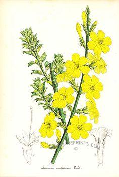 1851 Winter jasmine (Jasminum nudifloru)